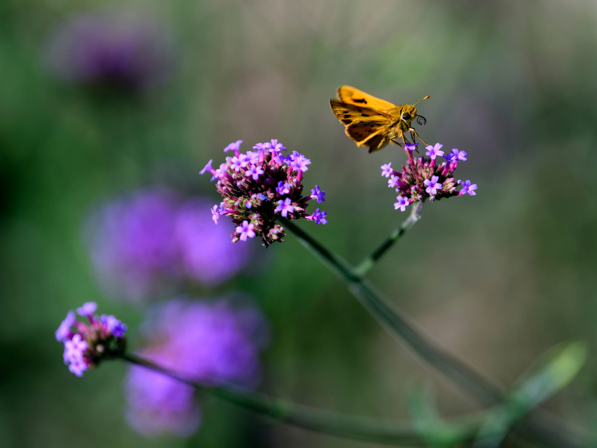 A small Skipper butterfly sits on top of a Verbena bonariensis plant inside the Wildlife Garden at the Hartman Arboretum located on the northwest side of Evansville, Wednesday morning. The non-profit arboretum was founded in 2001 by Grant and Jean Hartman, who converted the pasturelands around their home into a nature education area.