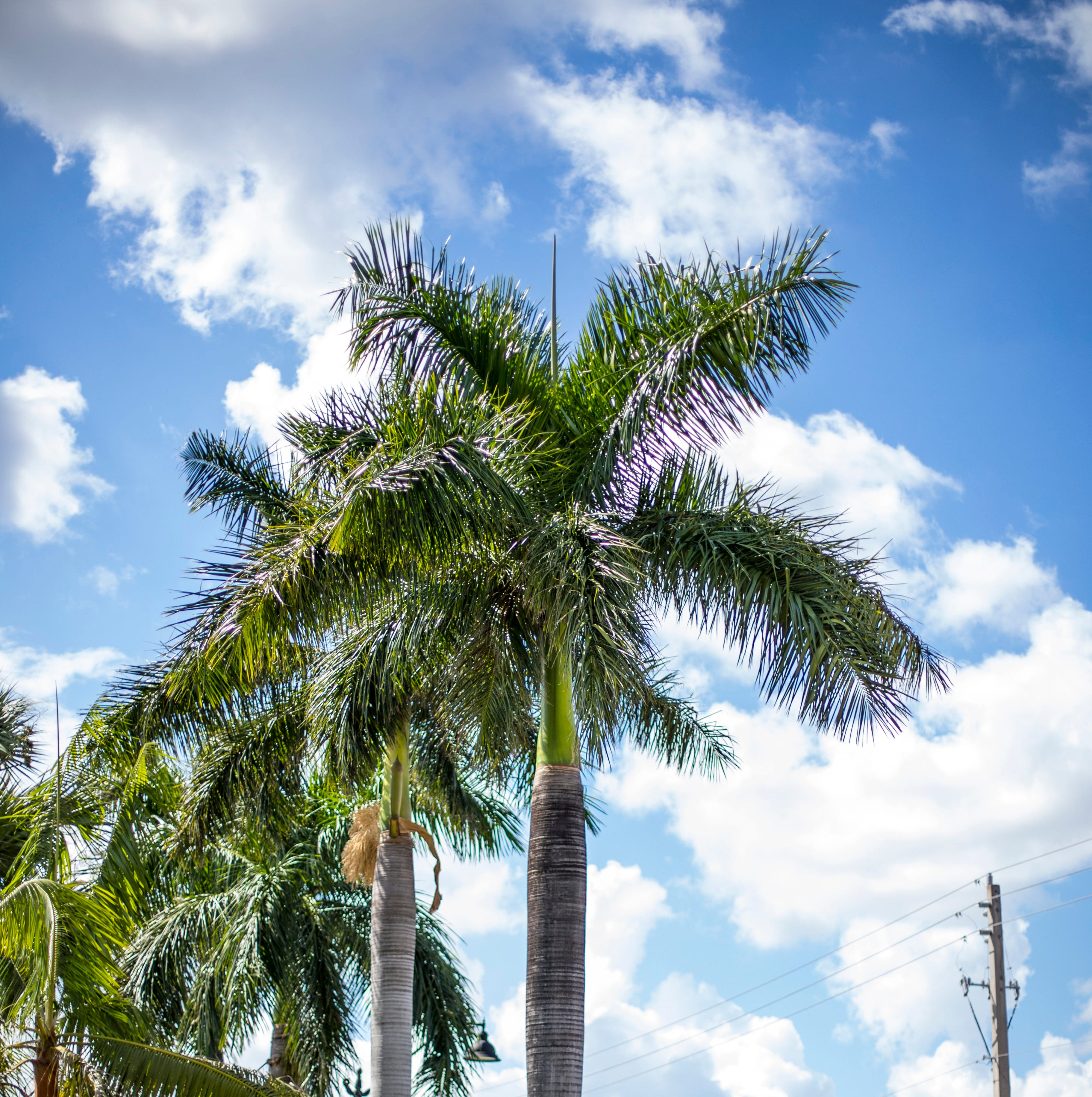 Naples has almost 15,000 city palm trees — here's what that looks like.