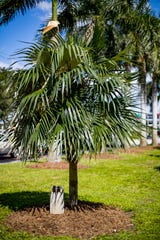 "Coccothrinax Crinta - ""Old Man Palm"" - Native to Cuba."