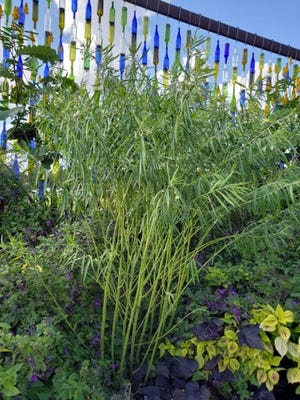 The fast growing annual balloon plant from South Africa is a favorite of monarch butterfly caterpillars.