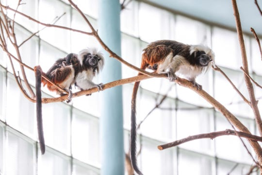 Twin critically endangered cotton-top tamarins were born Oct. 1, 2018, at Potter Park Zoo. There are only about 6,000 cotton-top tamarins left in the wild due to destruction their forest habitat in Colombia.