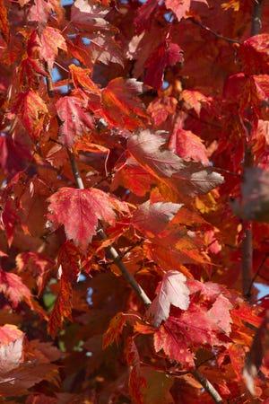 Autumn leaves on display.