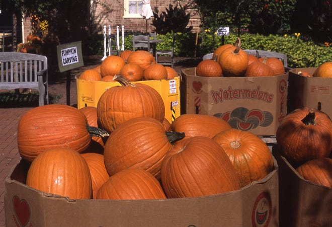These freshly picked pumpkins are ideal for carving to display for Halloween. They will be carved a few days before the Pumpkin Glow.