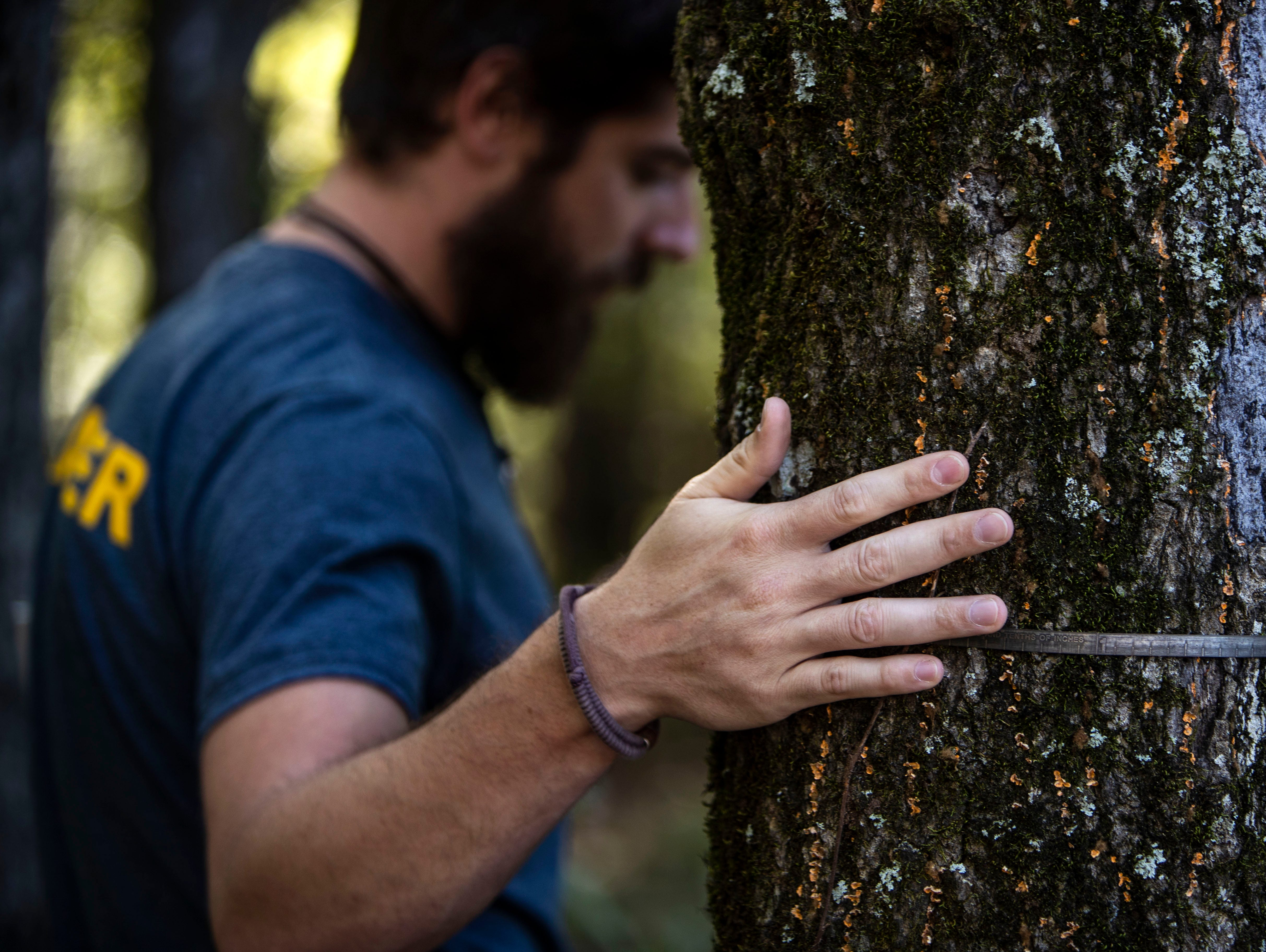 Keith Paluso, a Germantown park ranger, is a contestant this season on NBC's The Voice. Paluso goes through the process of how to measure pin oak tree at diameter at breast height in Wolf Rive Nature Park Thursday October 11,2018.
