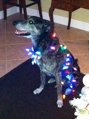 K-9 Bandit, of the Collier County Sheriff's Office, helps decorate for Christmas. Bandit was CCSO's longest-living K-9 after retirement. He died Sept. 29, 2018.