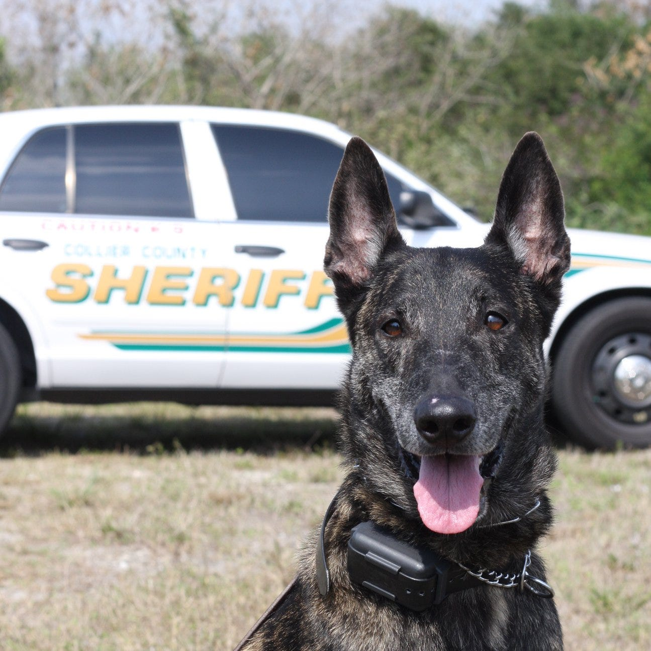 Collier County Sheriff's Office's longest-living K-9, Bandit, dies at 14 after retirement