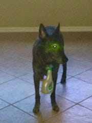 K-9 Bandit of the Collier County Sheriff's Office is pictured with a Febreze bottle hooked to his collar. Bandit was CCSO's longest-living K-9 after retirement, and his family had to put child locks on their cabinets to keep him from getting into trouble. He died Sept. 29, 2018.
