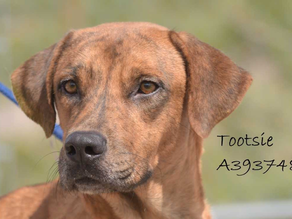 Tootsie - Female (spayed) shepherd mix, about 4 years old. Intake date: 8/10/2018