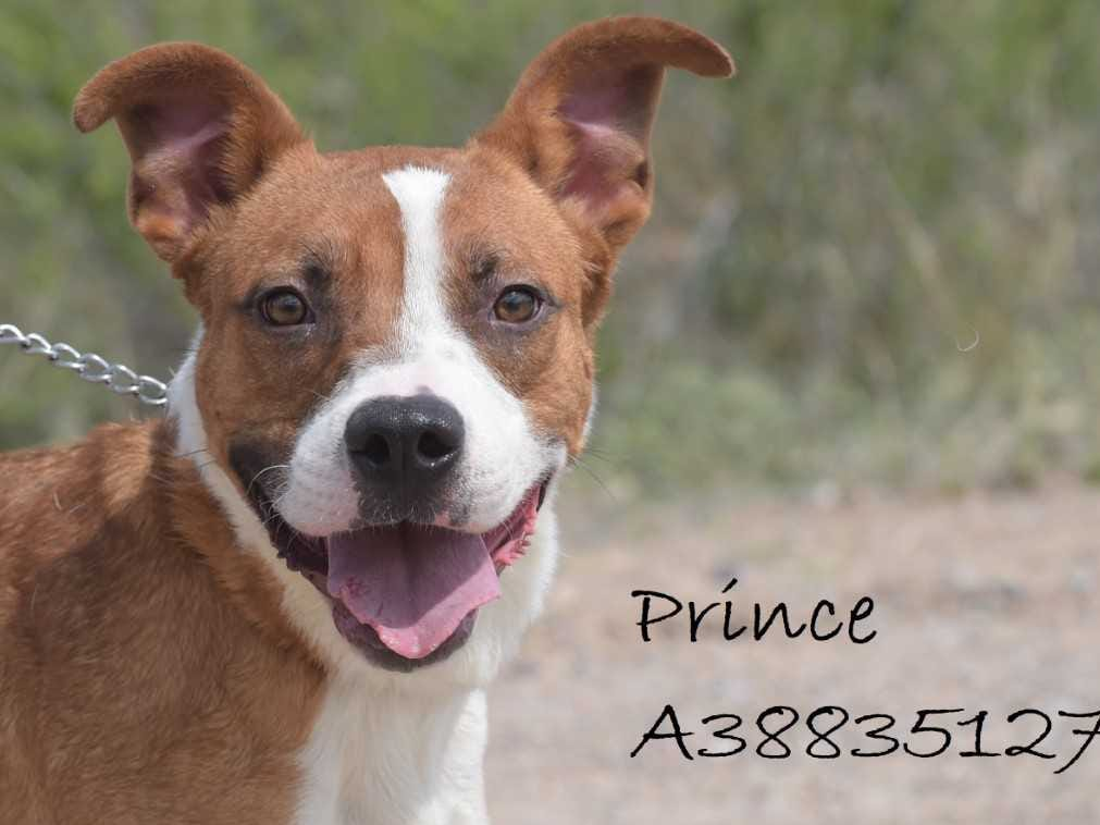 Prince - Male (neutered) boxer mix, about 3 years old. Intake date: 6/11/2018
