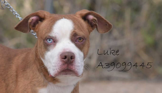 Luke - Male (neutered) pit mix, about 2 years old. Intake date: 7/11/2018