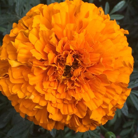 Deadheaded marigolds produce more flowers, but only if cut early enough in the season.