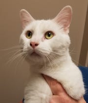 Quincy arrived at the shelter in July as a stray, and we think he's about 6 years old. He's a lovable, happy fellow who also happens to be deaf. Quincy loves attention and due to his deafness, he can get quite loud when he greets you or asks for the attention he craves! The lack of hearing doesn't stop this sweetheart! He may not hear you when you come home, but once he notices you he will greet you with lots of talking, head-butting and, most of all, LOVE! Quincy can be quite demanding around mealtime (or rather he seems demanding, because he cannot hear himself talk), and he cannot wait for his meal to be prepared. Quincy would love to show you how great a deaf cat can be as a companion!