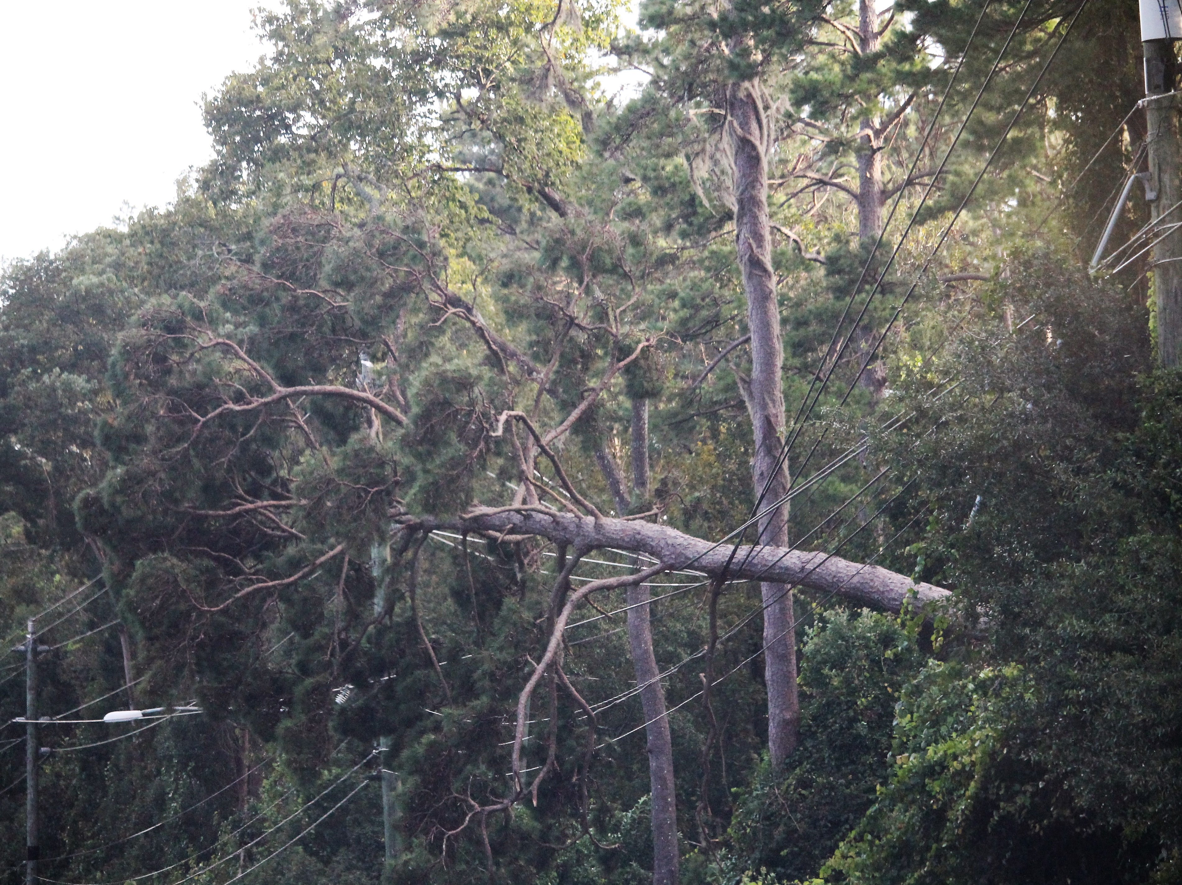 Large fallen tree being held up by power lines in Tallahassee.