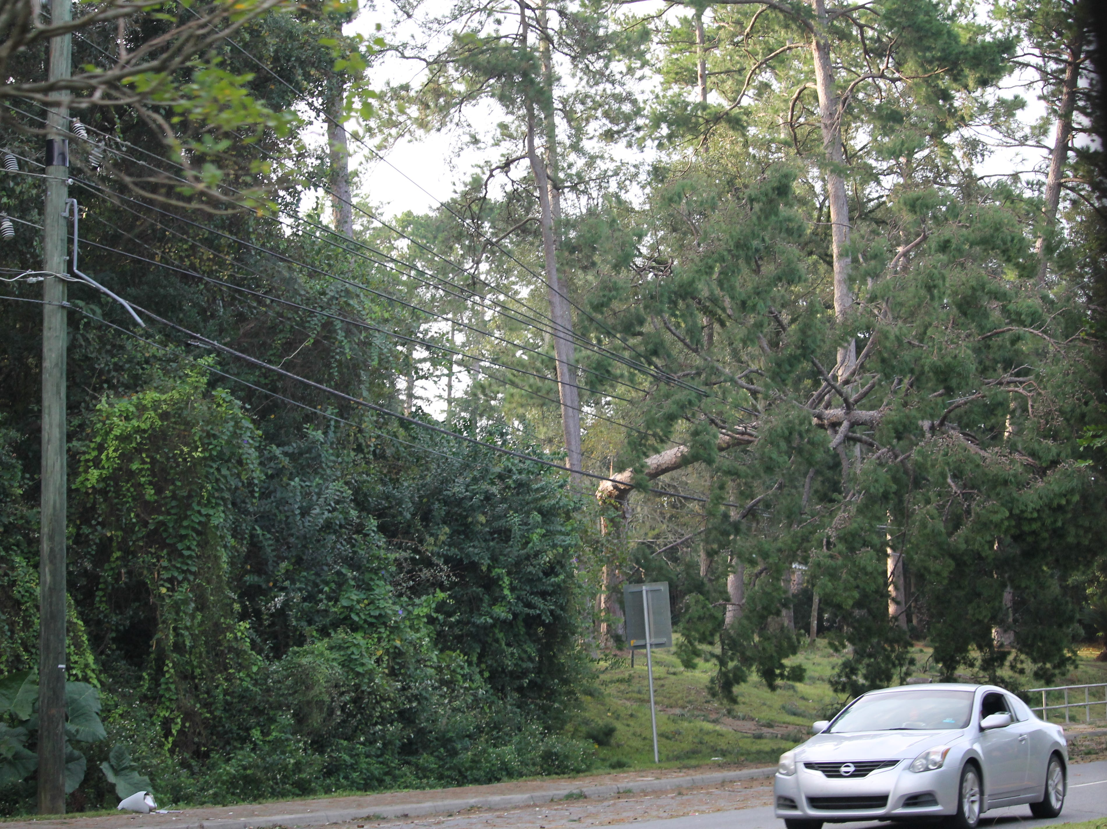 Downed tree being held up by power lines on Thomasville Rd. in Tallahassee.