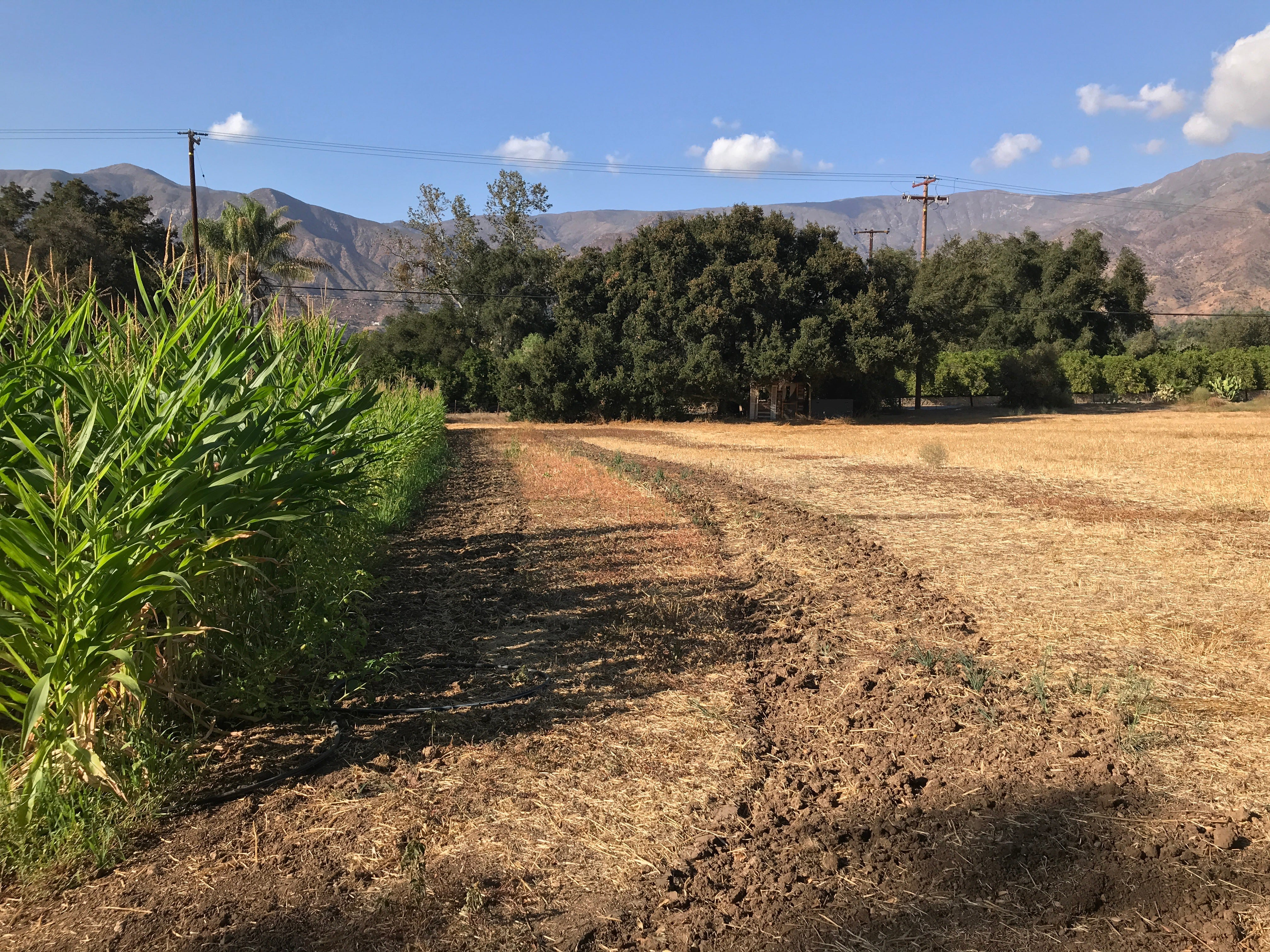 The cornfield where Boccali's Pizza & Pasta restaurant normally runs its annual haunted hayride. The ride is canceled this year because the trailers used for it burned down in the Thomas Fire. Owner DeWayne Boccali said that in addition, the drought has made it difficult to plant enough corn.