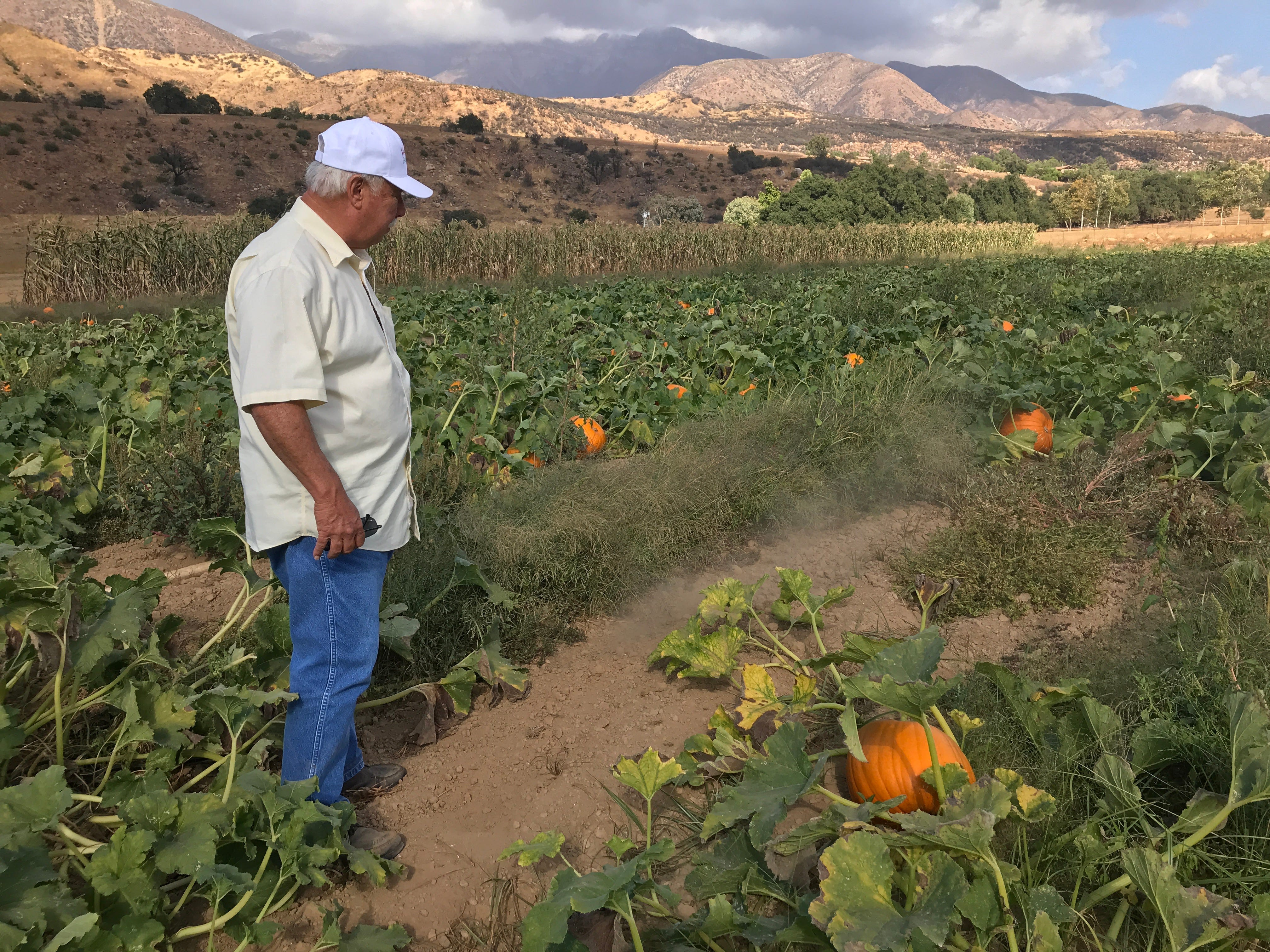 DeWayne Boccali points out the dusty earth at his ranch in Upper Ojai. The drought has made it impossible to grow the volume of pumpkins he usually grows, he said.