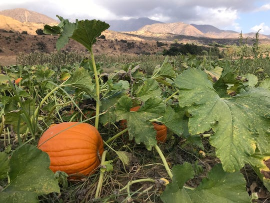 Pumpkins grow at the Boccali ranch in Upper Ojai. Owner DeWayne Boccali said he's only been able to grow about a third of his typical pumpkin crop because of the drought, but it's been enough to open the pumpkin patch at pizza and pasta restaurant in Ojai.
