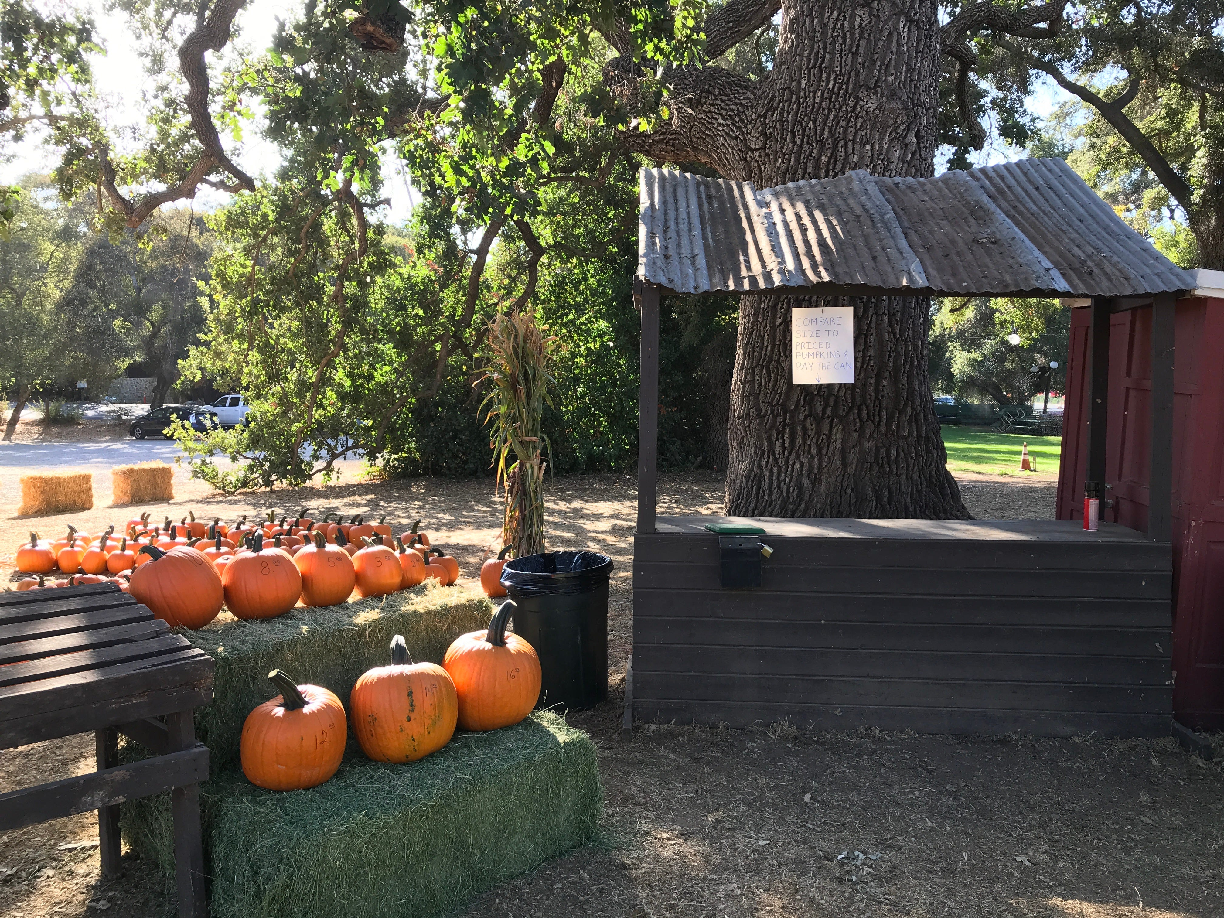 The pumpkin patch at Boccali's Pizza & Pasta restaurant in Ojai is open this year, but there is no haunted hayride.