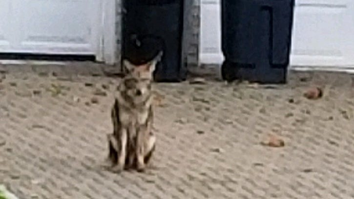 Pleasantville looks into how to deal with coyotes