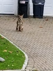 A coyote was spotted in the Emerson Point area of New Rochelle.