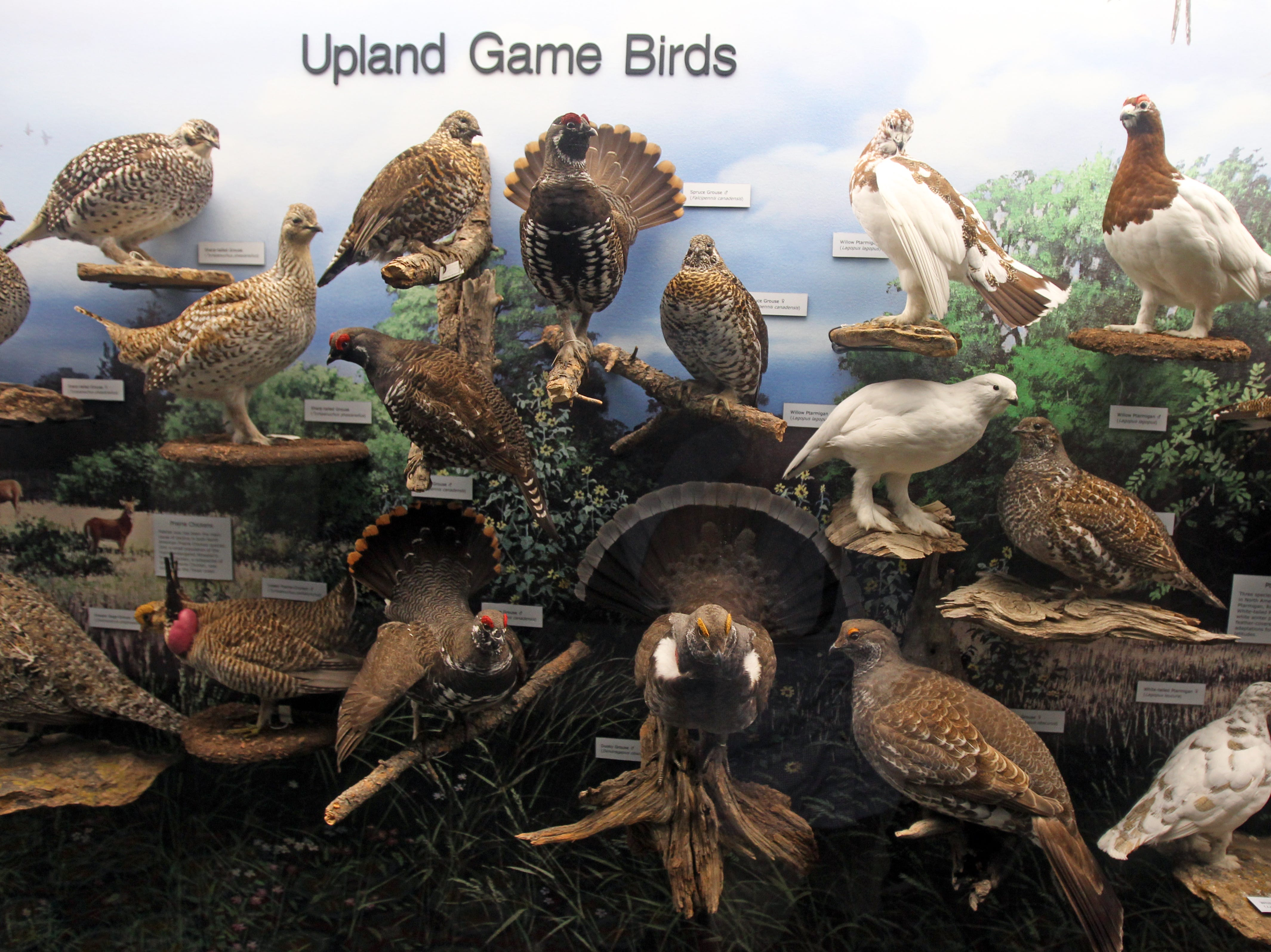 The upland game bird collection is among the larger groups displayed within the Welder exhibit.