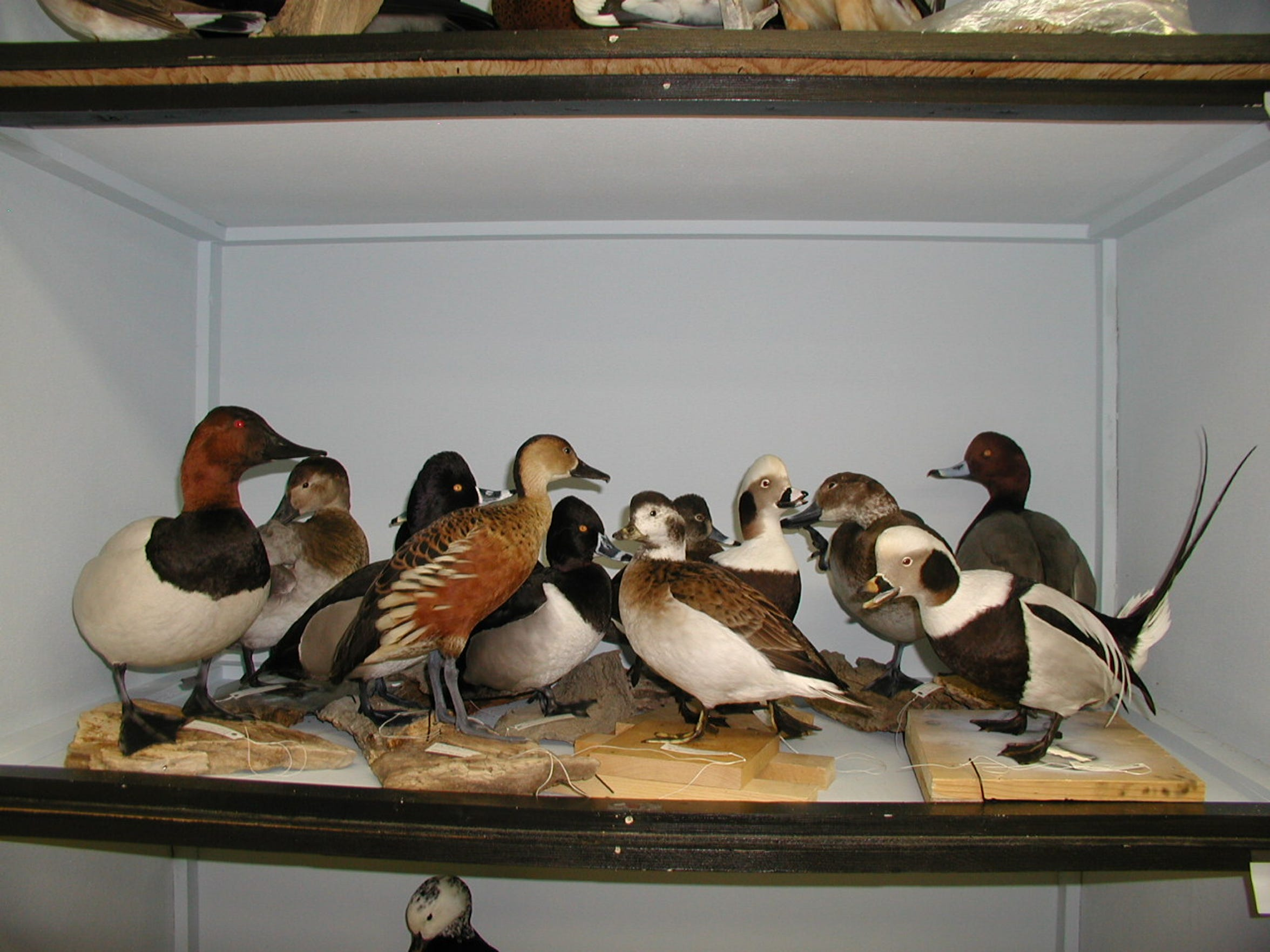 When the Welder Wildlife Foundation received the Bowman collection many were crowded in wooden cases such as this.
