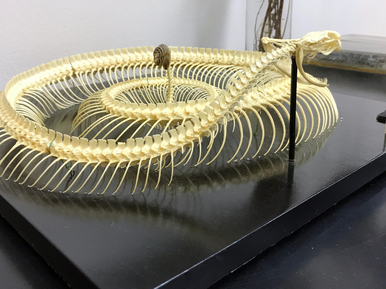 Imagine assembling the delicate skeleton of these fragile rattlesnake bones.