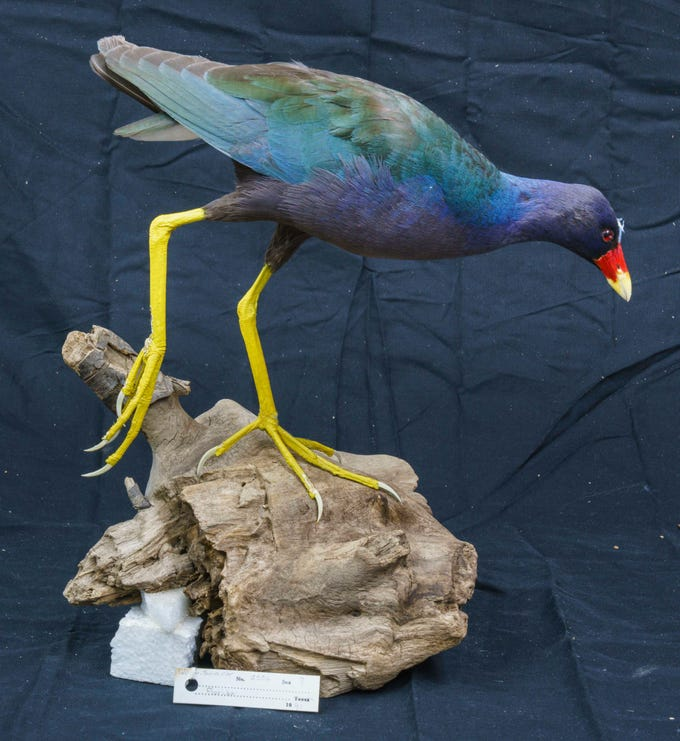 Many of the birds in this collection are native to South Texas, such as this purple gallinule.