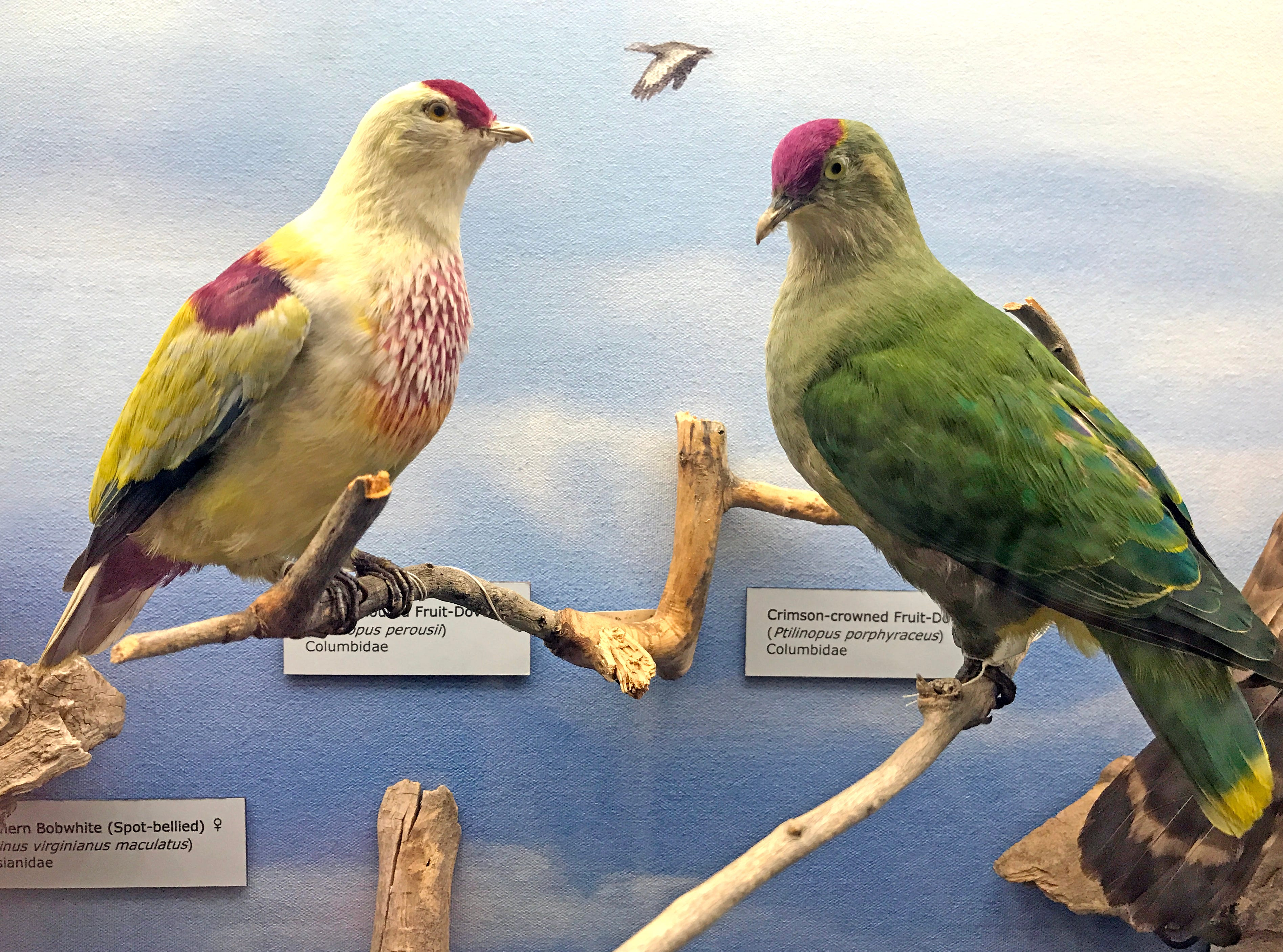 These fruit doves or fruit pigeons are from Southeast Asia.