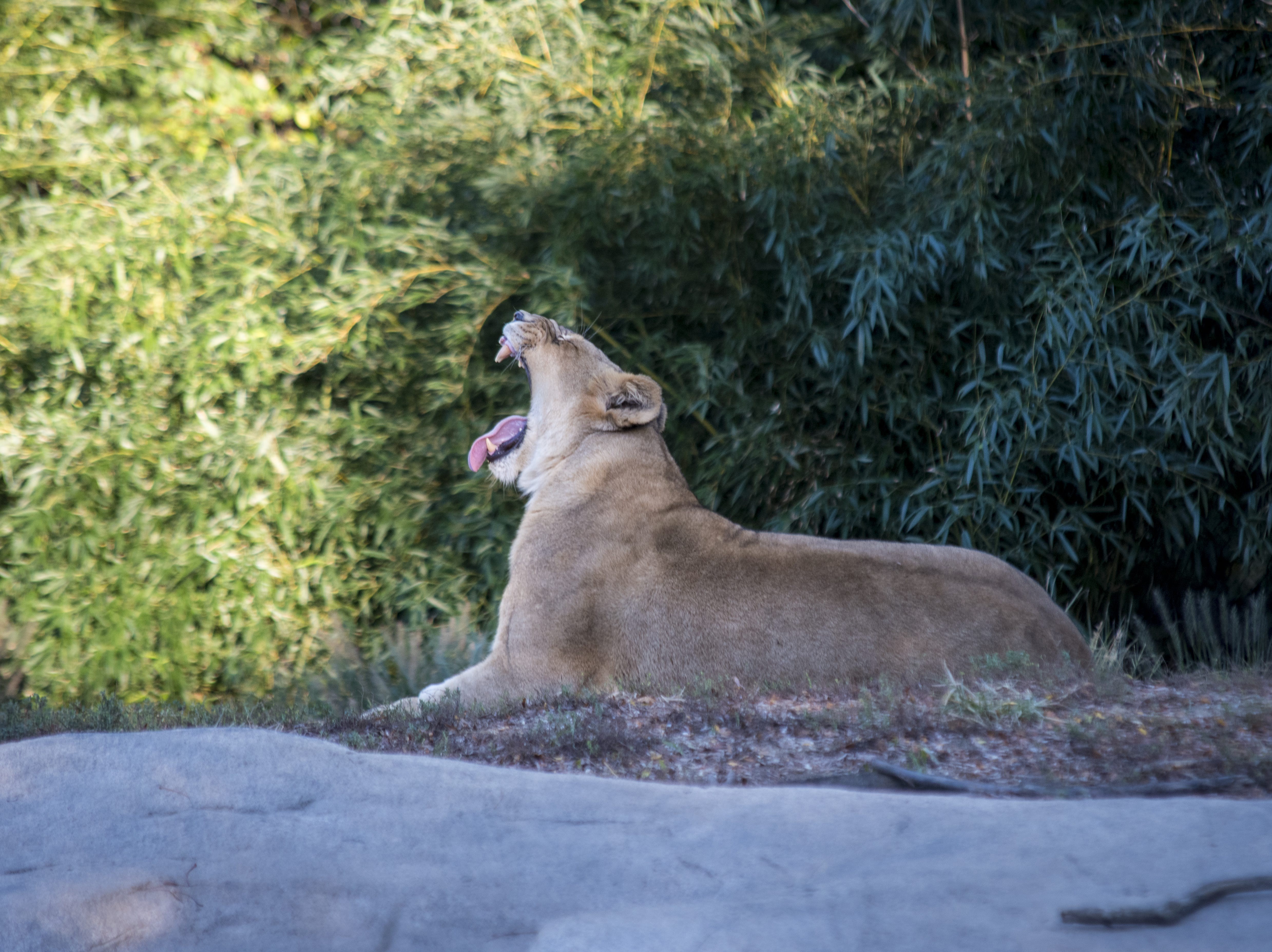 One of the zoo's four female lions yawns during Zoo Brew.