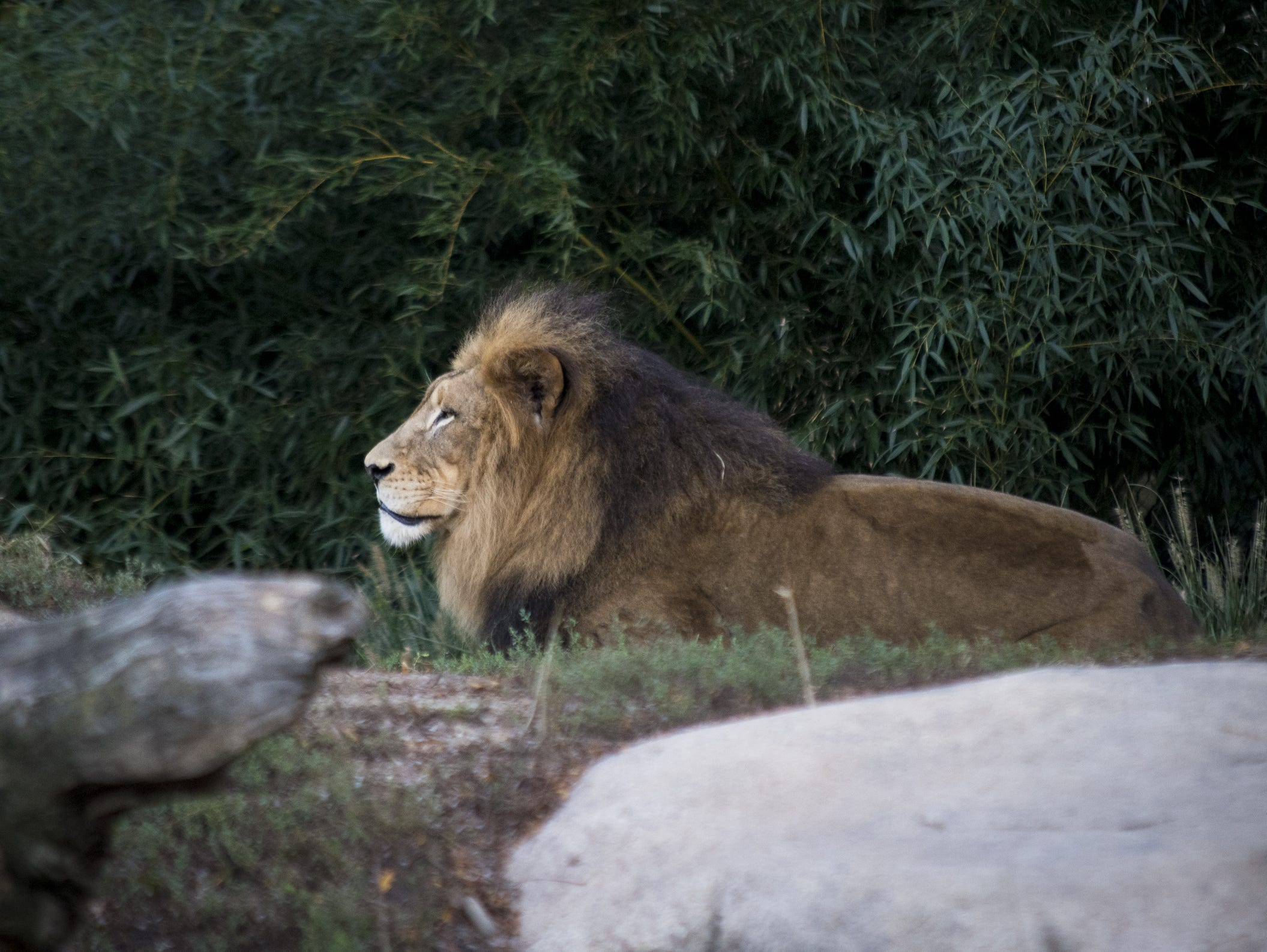 John, an African lion, is visible for VIP guests during Zoo Brew.
