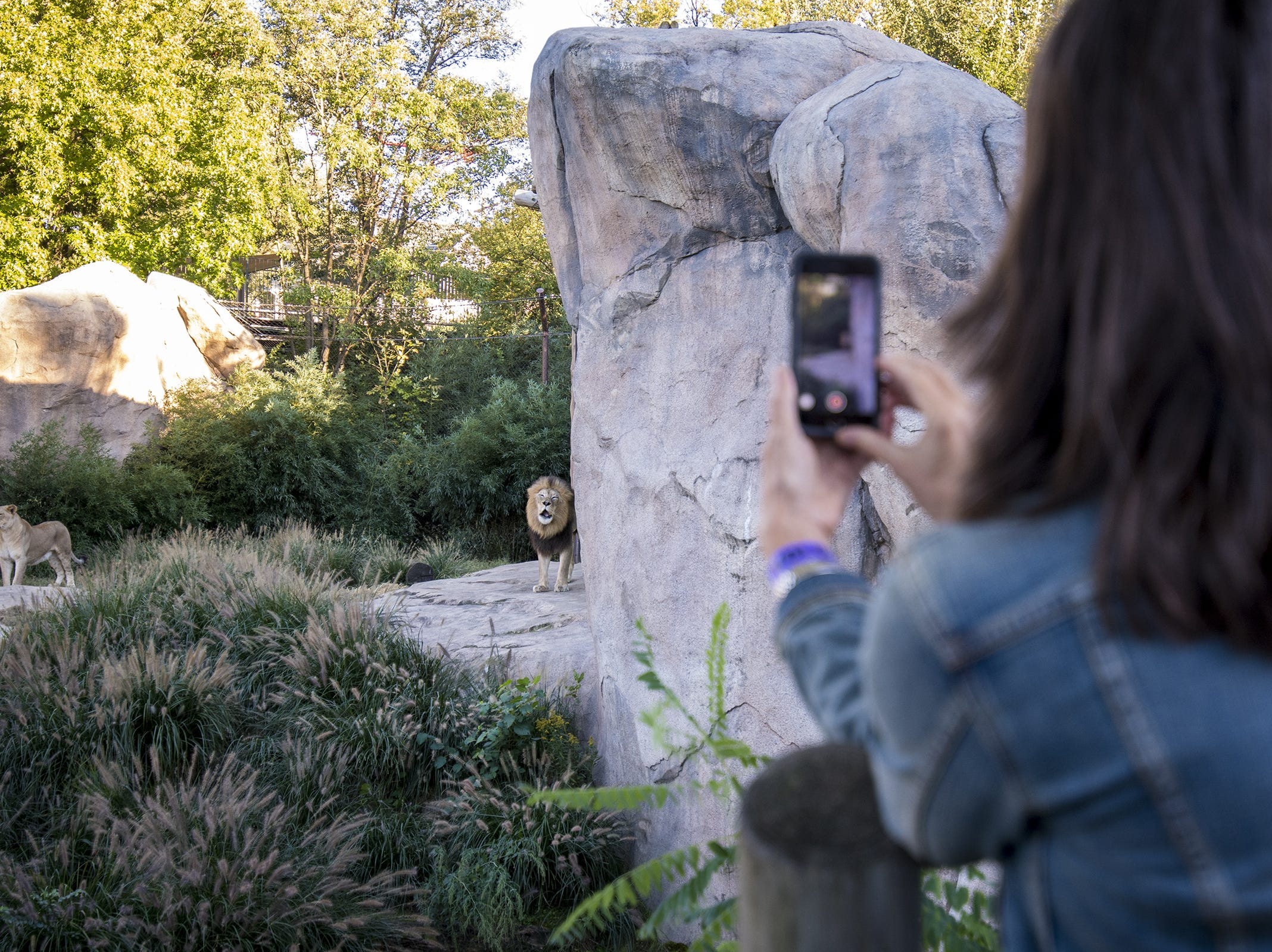A VIP guest grabs video of John, the male African lion, as he roars during Zoo Brew.