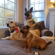 Teresa Appelwick's dog, Tobias, front, enjoys having playmates Wayway, center, and Ciri, back, living with them as part of Dogs on Deployment, a national organization that links deploying military members with dog sitters.  Appelwick has taken care of Wayway and Ciri for the past 8 months while their owner has been deployed.
