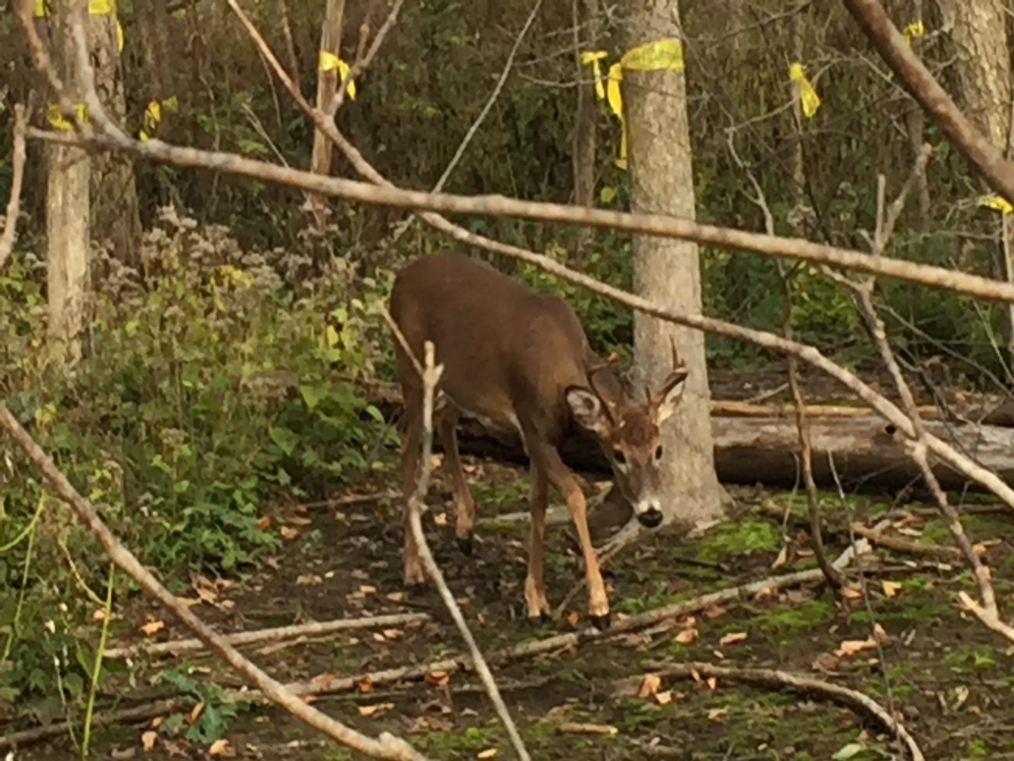 A buck walks in bare soil left behind by misuse of herbicide that killed all plants, including the hardwood trees marked for logging.