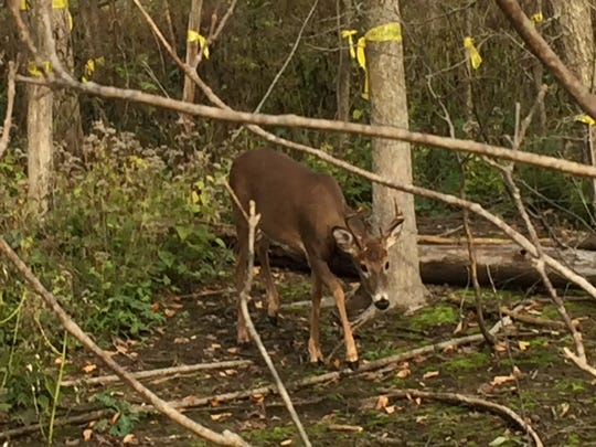 A buck walks in bare soil left behind by use of herbicide that unintentionally killed all plants, including the hardwood trees marked for logging.