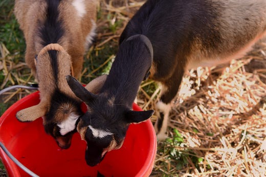 Christmas Tree Recycling Idea: Donate To Goats