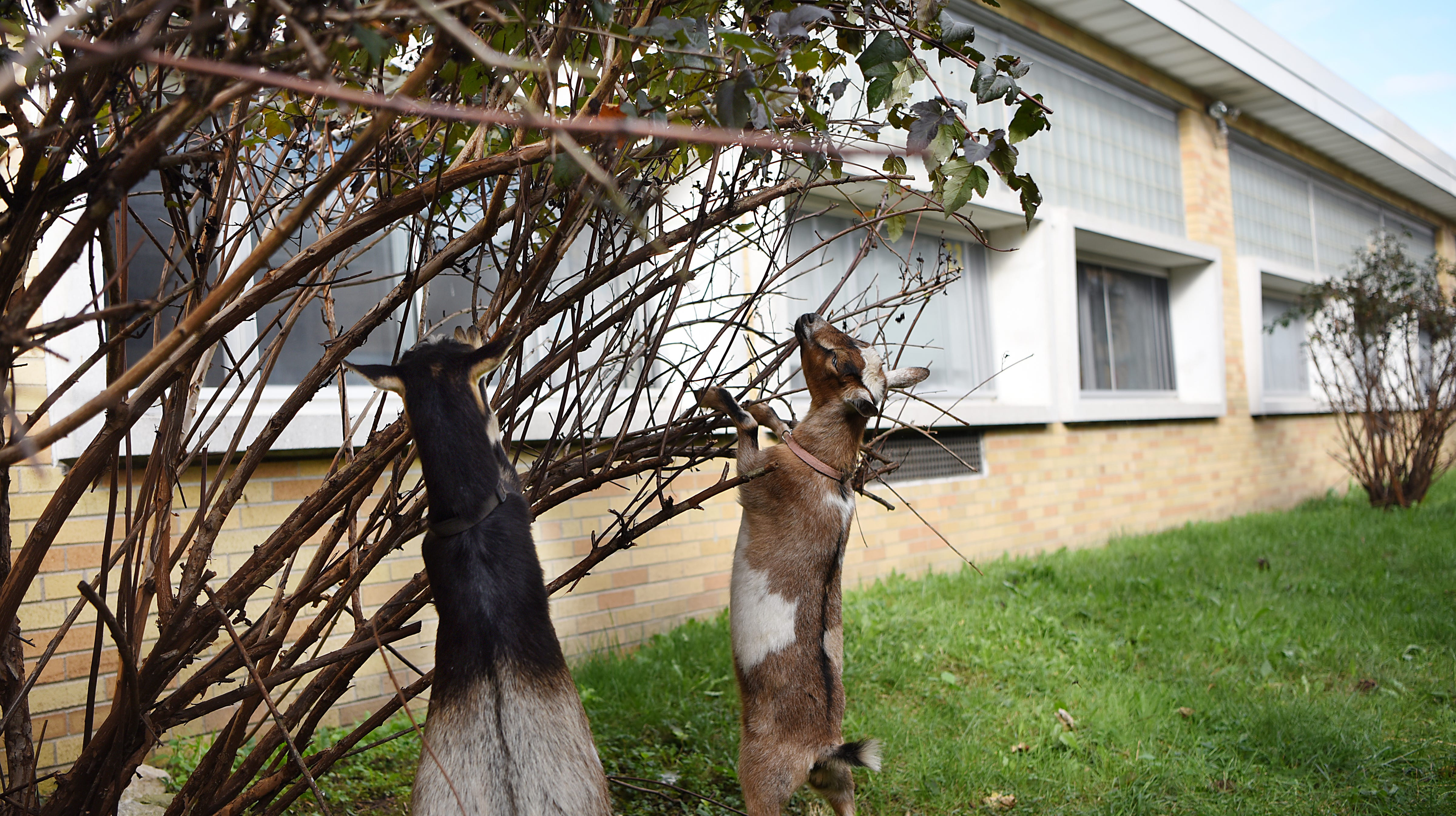 how to get rid of goat head weeds