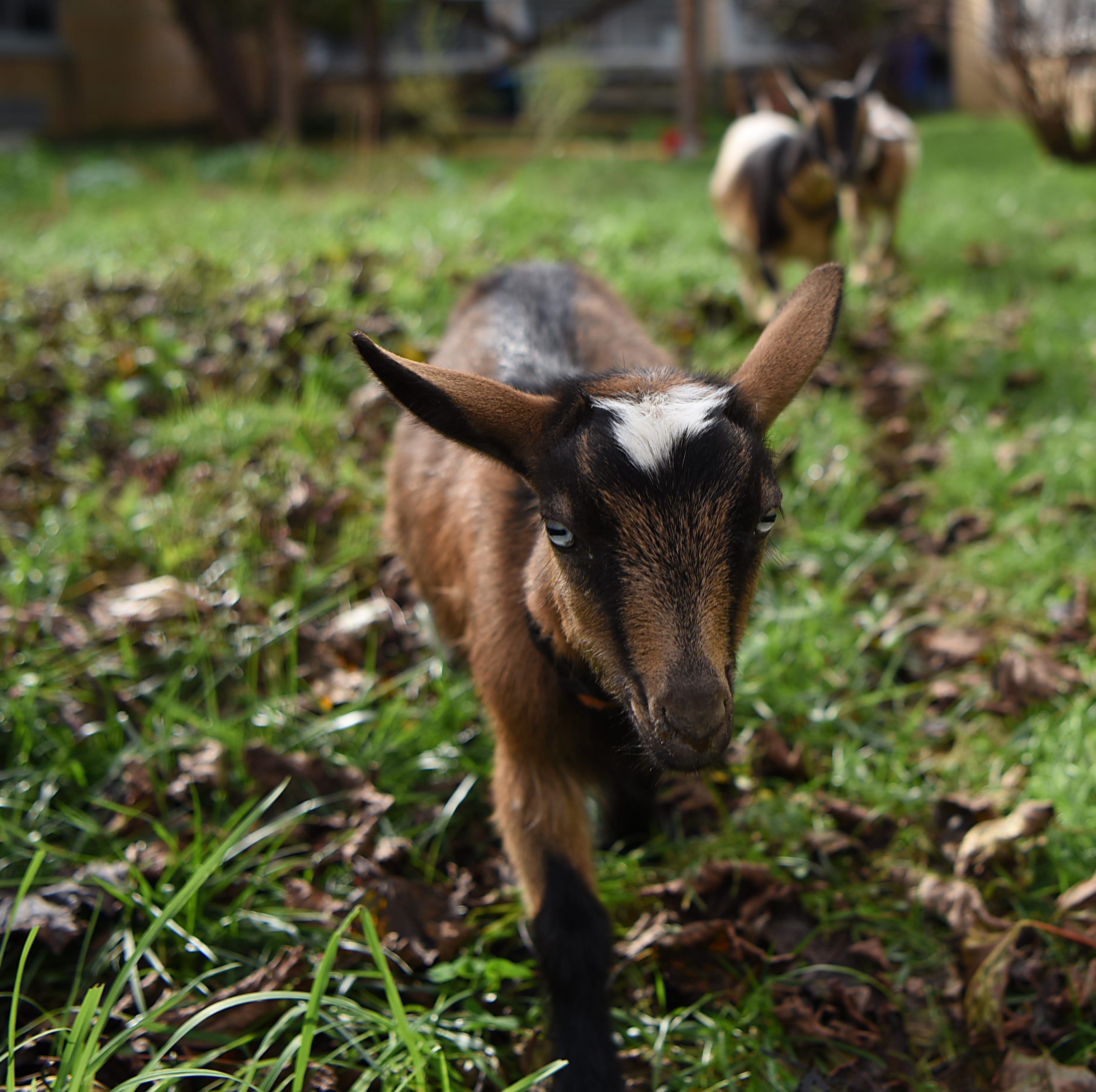 Three tiny (and adorable) goats solved this New Jersey school's poison ivy problem