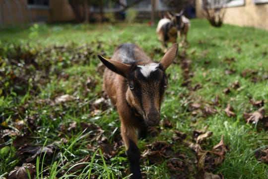 Bea is one of three Nigerian dwarf goats are on loan from Freedom Star Farms to eat poison ivy and other weeds at Lincoln Park Middle School in Lincoln Park shown on Friday October 12, 2018.