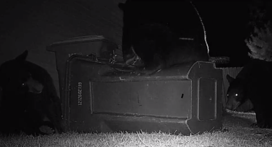 Three black bears were caught on camera trying to bust into a Navarre couple's trash cans on Thursday night