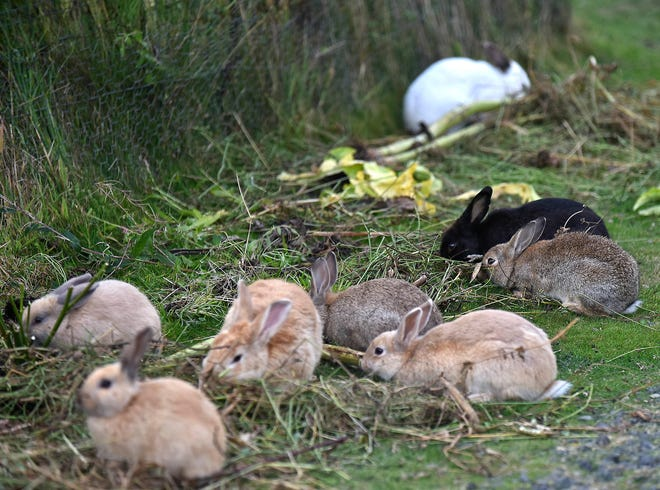 In this Sept. 12, 2018 file photo, feral rabbits gather near a resident's garden in Cannon Beach, Ore. Cannon Beach has discovered that no agency has responsibility for the booming population of feral rabbits that has overtaken the popular beach town.