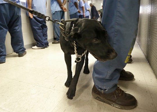 In this May 20, 2015, file photo, Bentley, a 3-year-old Labrador retriever, checks an inmate for traces of narcotics at California State Prison Solano in Vacaville.