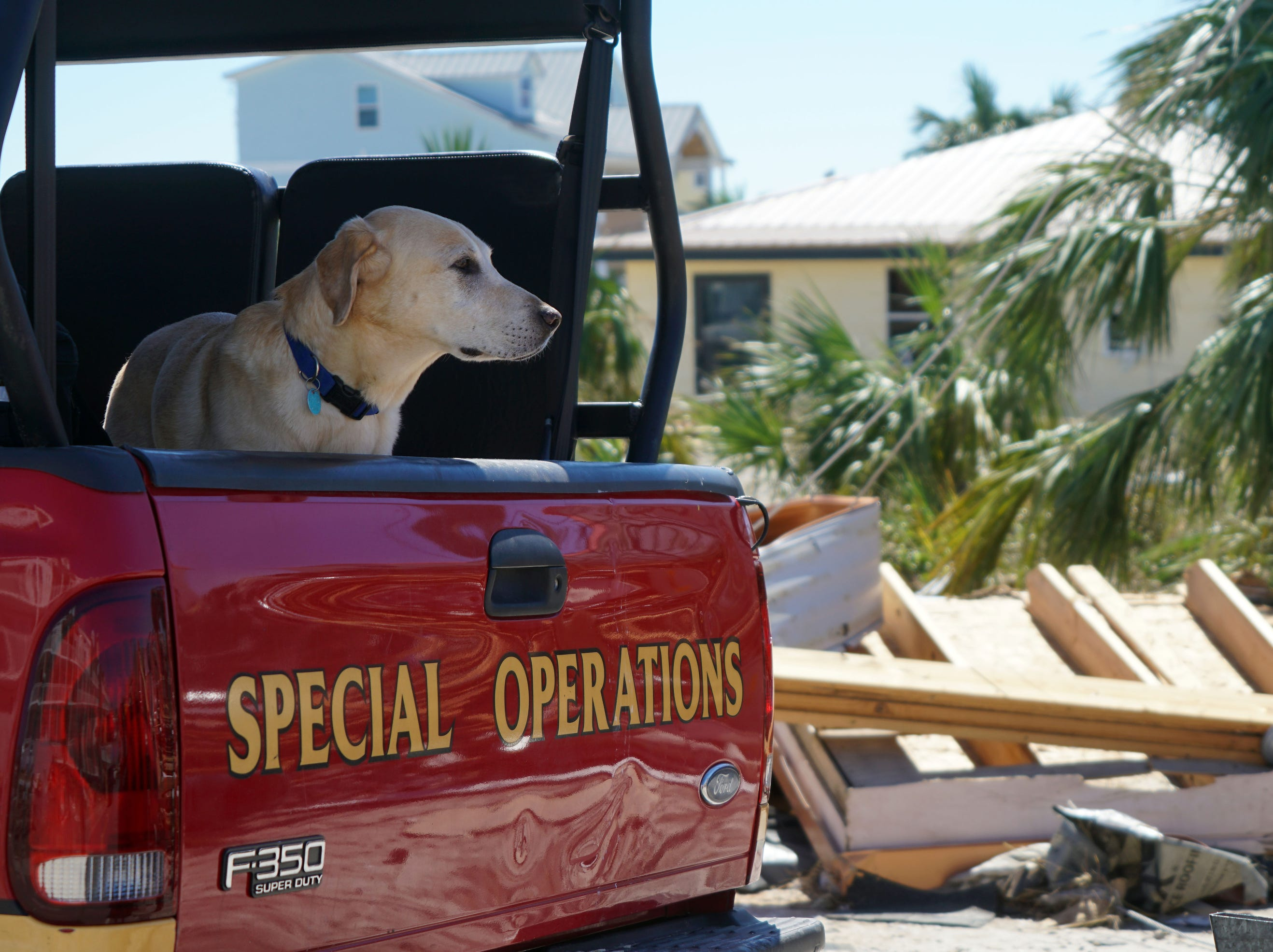 Rit, a yellow Lab and urban search-and-resuce task force member, surveys the damage in Mexico Beach, Fla..