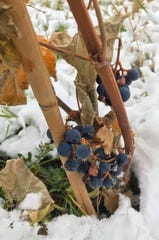 Grapes grow in a vineyard launched by Tim Wilkinson and Dean Hatch near Wadsworth Pond on the western edge of Great Falls.