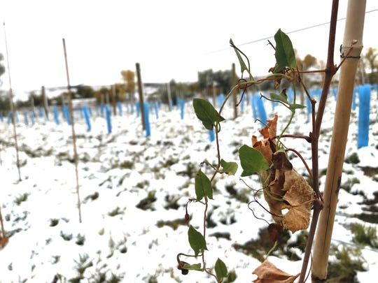 Not much green is left but life remains  in the vineyard launched by Tim Wilkinson and Dean Hatch near Wadsworth Pond on the western edge of Great Falls. They are trying several kinds of grapes to see what survives a central Montana winter best.