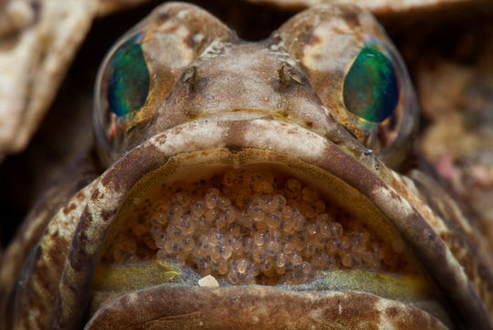 The male of the banded jawfish broods its eggs in its mouth in this image captured at the Blue Heron Bridge dive site, a South Florida shallow water inshore diving spot popular with recreational divers.