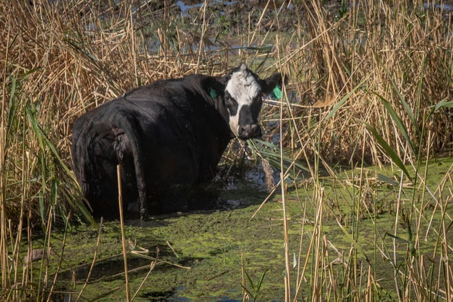 In this Thursday, Sept. 20, 2018. photo, A cow chews on phragmites at Ogden Bay Waterfowl Management Area in Hooper, Utah. The cattle are a relatively new tool in battling phragmites around the Great Salt Lake. The plants are also managed with pesticides, mowing and controlled burning. in Utah. A yearslong battle against an invasive grass has improved hundreds of acres of wetland habitat near the Great Salt Lake, even as lake levels decline.
