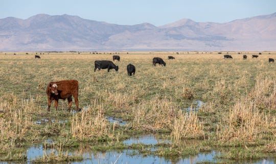In this Thursday, Sept. 20, 2018. photo, Cattle graze on phragmites and other wetland plants at Ogden Bay Waterfowl Management Area in Hooper, Utah. The cattle are a relatively new tool in battling phragmites around the Great Salt Lake. The plants are also managed with pesticides, mowing and controlled burning. in Utah. A yearslong battle against an invasive grass has improved hundreds of acres of wetland habitat near the Great Salt Lake, even as lake levels decline.