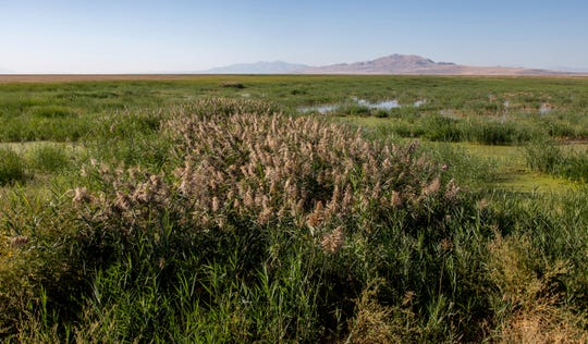 In this Thursday, Sept. 20, 2018 photo, managed phragmites grows in the wetlands surrounding the Great Salt Lake in Utah. A yearslong battle against an invasive grass has improved hundreds of acres of wetland habitat near the Great Salt Lake, even as lake levels decline.