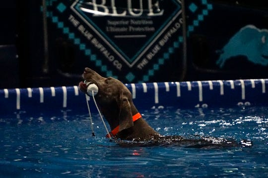 Grayson, nicknamed the Gray Ghost, swims back to the dock during the DockDogs World Championship at the Knoxville Convention Center.